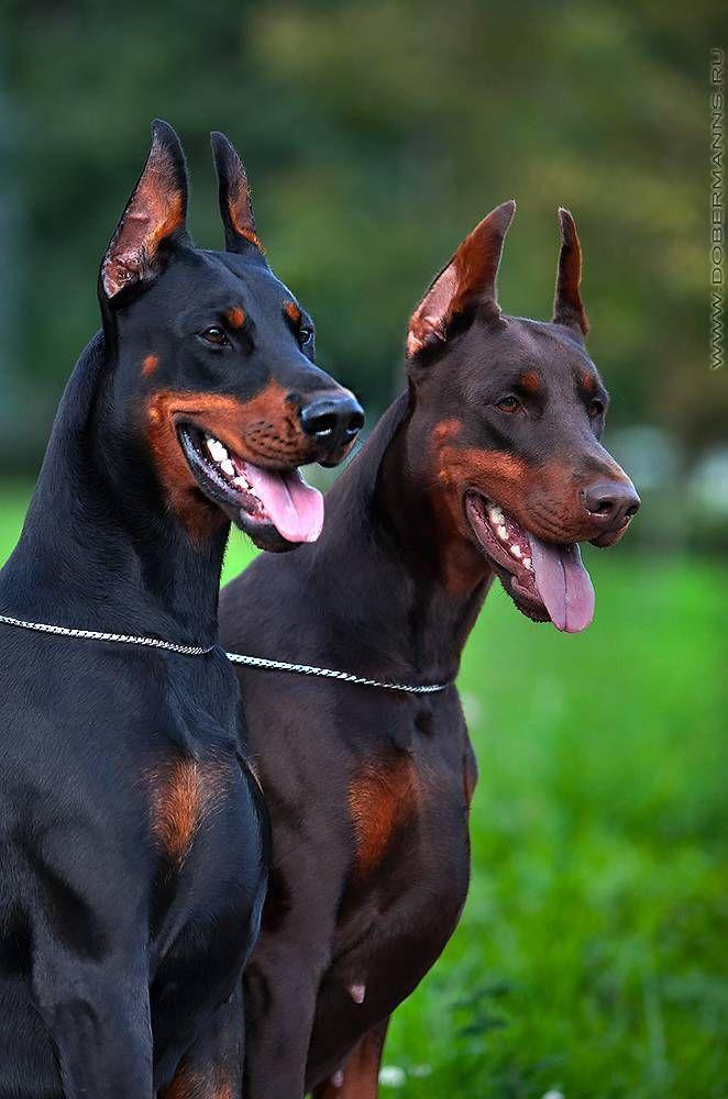 6d203416c659d53e2be58cf8351fe96f--doberman-dogs-doberman-pinscher