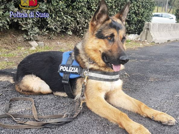 20180405 cane Ares2-kfUD-U434601071965910gnG-1224x916@Corriere-Web-Roma-593x443